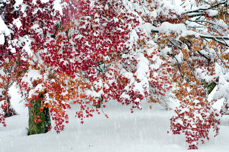 acer palmatum: Maple Leaf with snow in early winter. Stock Photo