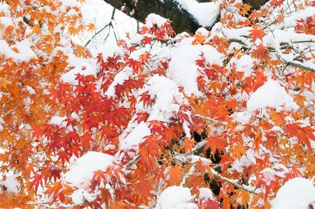 La hoja de arce con nieve en invierno temprano. Foto de archivo - 66728662