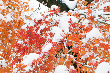 christmas grounds: Maple Leaf with snow in early winter. Stock Photo