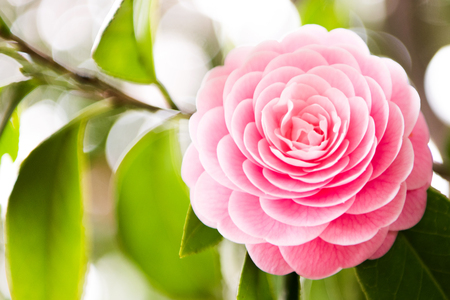 camellia blooming in the spring. Natural light Standard-Bild