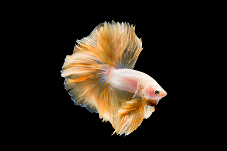 Capture the moving moment of yellow siamese fighting fish isolated on black background. Dumbo betta fish Stock Photo