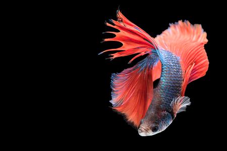 Vang het bewegende moment van rode blauwe siamese vecht vis geïsoleerd op zwarte achtergrond. Dumbo Betta Fish