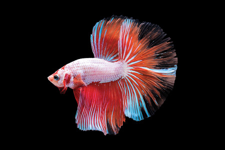 Capture the moving moment of red white siamese fighting fish isolated on black background. Dumbo betta fish Stock Photo