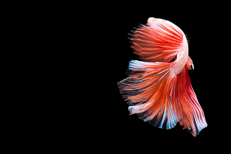 betta: Capture the moving moment of red white siamese fighting fish isolated on black background. Dumbo betta fish Stock Photo