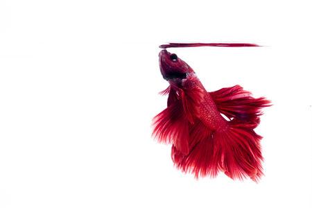Red Siamese fighting fish, Betta on isolated white background.