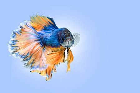 capture the moment: Capture the moving moment of  blue yellow siamese fighting fish on blue background. Dumbo betta fish