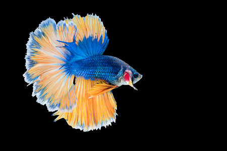 capture the moment: Capture the moving moment of  blue yellow siamese fighting fish on black background. Dumbo betta fish