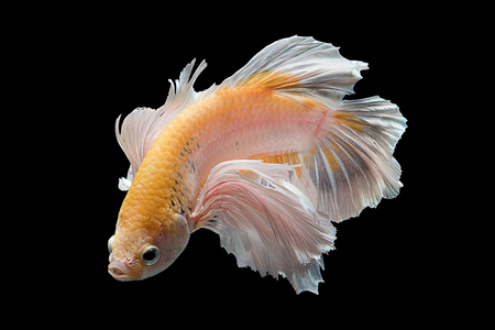 betta: Capture the moving moment of yellow white siamese fighting fish isolated on black background. Dumbo betta fish