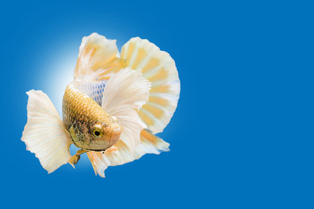betta: Capture the moving moment of yellow white siamese fighting fish on blue background. Dumbo betta fish Stock Photo