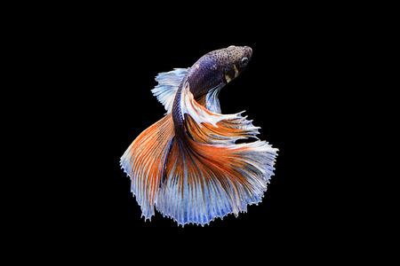 Leg het ontroerende moment vast van blauwe Oranje siamese vechtvissen op een zwarte achtergrond. Dumbo betta vis Stockfoto