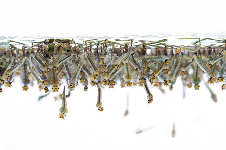 Mosquito larvae in water on white background Stockfoto