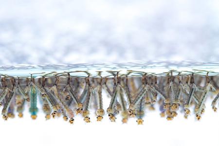 白い背景に水の蚊の幼虫