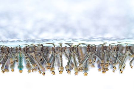 Mosquito larvae in water on white background Banque d'images