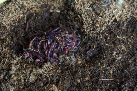 vermiculture: African Night Crawler on soils