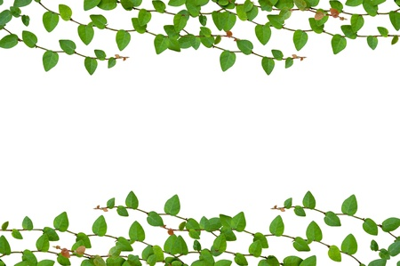 Green leaves isolate on white background