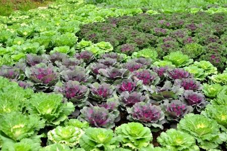 Purple cauliflower in the Vegetable garden
