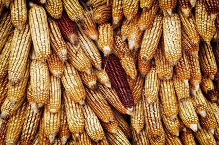 golden corn cobs hanging to dry Stock Photo - 17066065