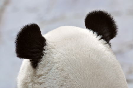 black giant: Back head Giant panda in national park photo Stock Photo