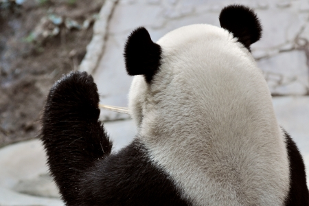 Back head Giant panda in national park photo photo