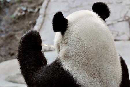 Back head Giant panda in national park photo Фото со стока