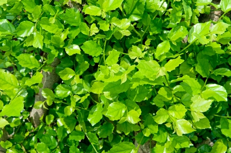 Green leaves Stock Photo - 17065988