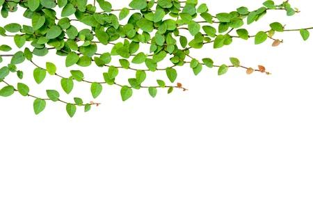 白い壁に育つグリーンつる植物 写真素材