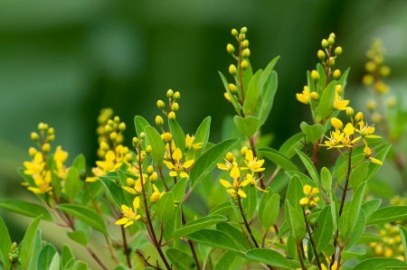 drought    resistant plant: Galphimia glauca Vertical Stock Photo