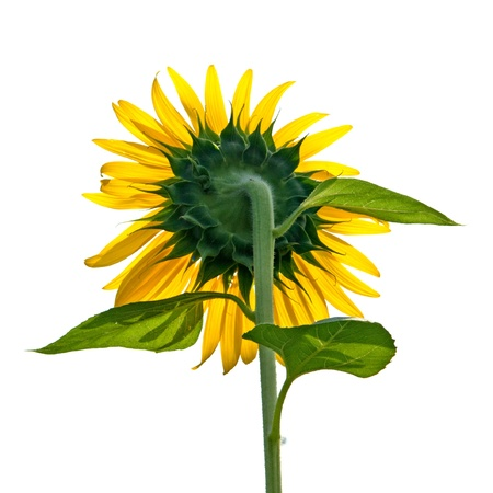 Sun flower blooming Stock Photo - 17066217