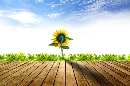 Wooden floor with green grass and sunflower blooming Фото со стока