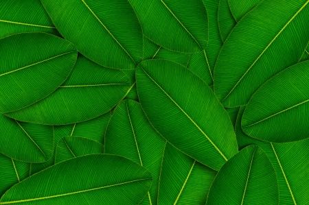 Fresh green leaves Stock Photo - 17111088