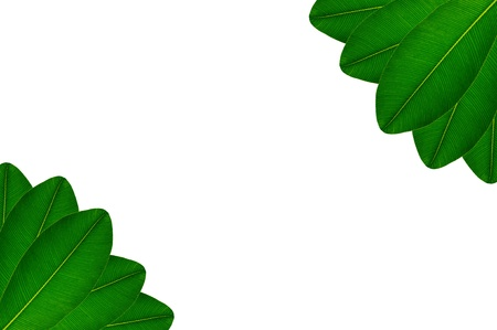 Green leaves on white background Stock Photo - 17111089