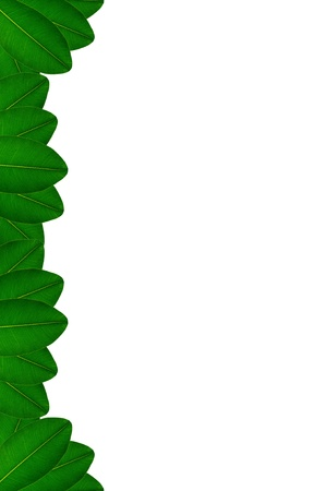 Green leaves on white background Stock Photo - 17111086
