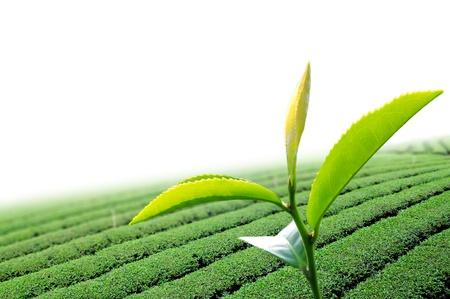 Groene thee blad in de theeplant