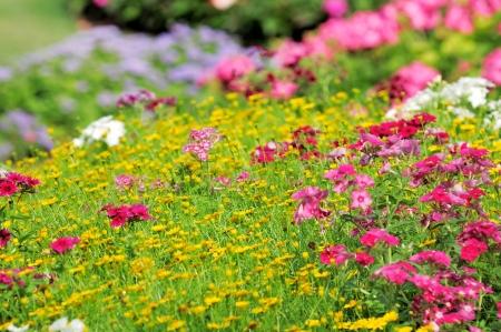 Flowers phlox, summer meadow Фото со стока