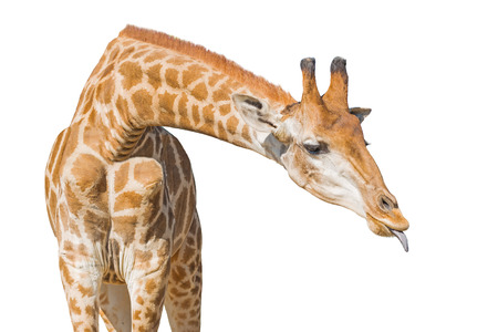 Giraffe put out tongue. Isolated on a white background. Clipping paths included