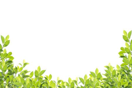 緑の葉の境界線は、白い背景で隔離。クリッピング パスが含まれています。