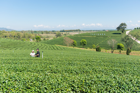 CHIANG RAI, THAILAND - JANUARY 14, 2017: Visiting Choui Fong tea field, one of the biggest tea plantation in Northern Thailand