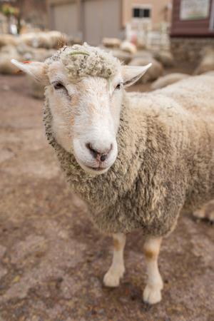 Sheep head close up. Farm animals. Stock Photo