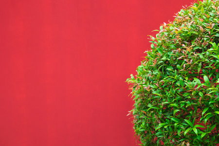 The Green leaves Plant on a red Wall Stock Photo