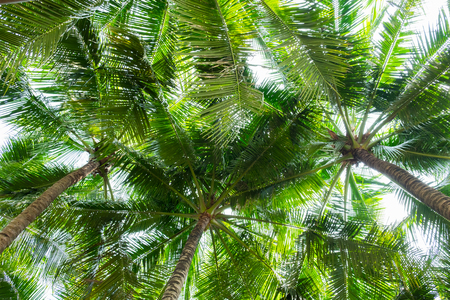 Coconut palm trees bottom view , perspective view