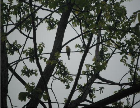 나무에서 노란 새 노래입니다.