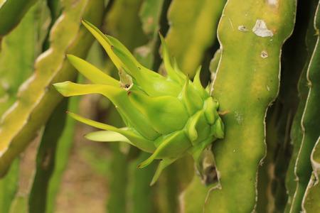 Dragon fruit on plant. photo