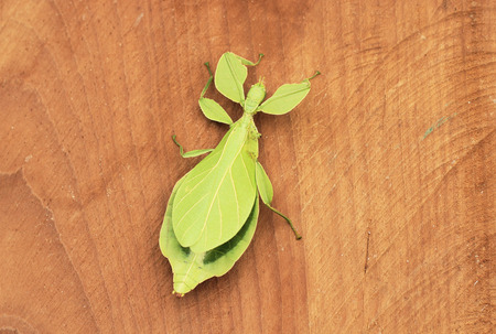 mimic: Leaf Insect. Stock Photo