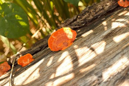 Sulphur Tuft, a poisonous mushroom.