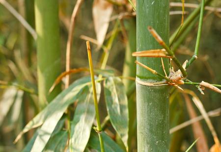 japones bambu: Árboles de bambú.