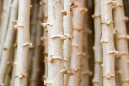 Cassava, Yuca, Mandioa, Manioc, Tapioca ,Sampou,( Manihot esculenta (L.) Crantz) photo