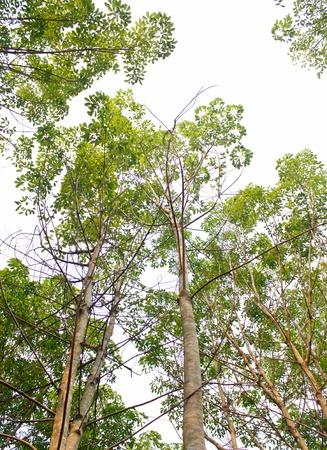 nature green: Caucho �rboles naturaleza madera verde la luz del sol de fondo.