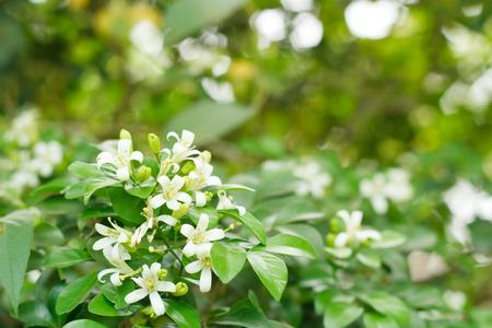 jessamine: Orange Jessamine, Satin-wood, Cosmetic Bark Tree