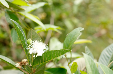 guayaba: Flor de guayaba.
