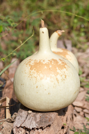 aerophone: Drying Bottle gourd for keep the seed.